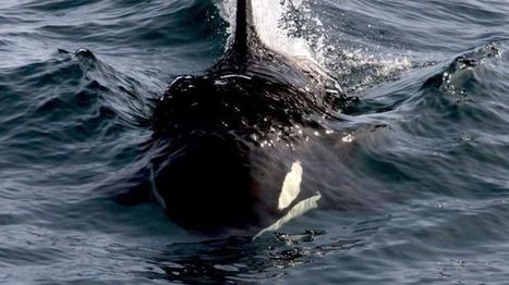 PCB chemical threat to Europe's killer whales and dolphins - BBC News | Farming, Forests, Water, Fishing and Environment | Scoop.it