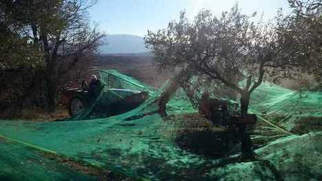 VIDEO  La très belle récolte des oléiculteurs du Sud Drôme | oléiculture | Scoop.it