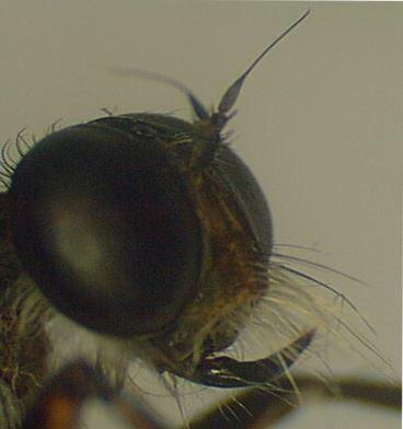 Nouveau genre, nouvelle espèce pour cette mouche de Côte d'Ivoire au rostre très recourbé | EntomoNews | Scoop.it