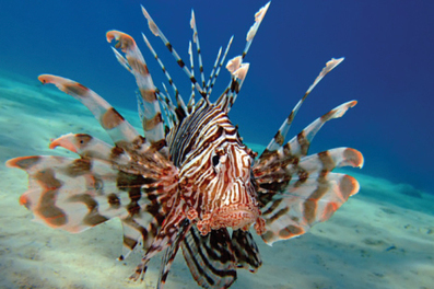 How to Save the Oceans from Invasive Lionfish: Eat Them : Living Green Magazine | All about water, the oceans, environmental issues | Scoop.it