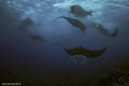 Do Guam mantas plan moon parties? Mantas congregate when surgeonfish spawn | Rays' world - Le monde des raies | Scoop.it