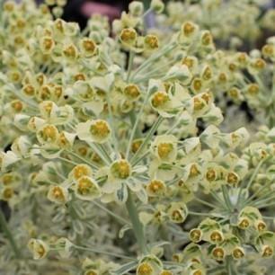 Euphorbe characias 'Emmer Green' - Euphorbia | Espaces Verts | Scoop.it