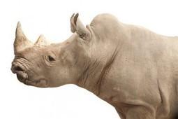 'Battleground: Rhino Wars' to Premiere on Animal Planet   Rhino poaching   Scoop.it