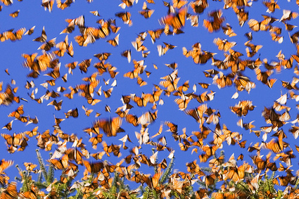 Herbicides for GMOs Driving Monarch Butterfly Populations to 'Ominous' Brink | Animal Science | Scoop.it