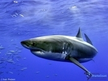Divers Guide To Marine Life: Sharks | All about water, the oceans, environmental issues | Scoop.it