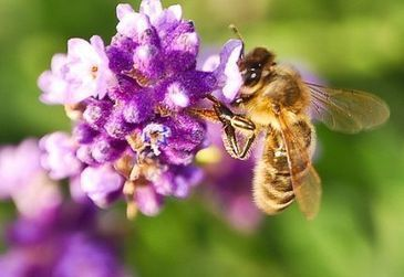 Herbs That Attract Pollinating Insects - Vegetable Gardener | Annie Haven | Haven Brand | Scoop.it
