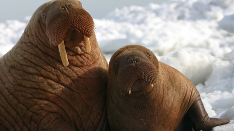 Alaska's stranded walruses face a new threat: oil drillers | GarryRogers NatCon News | Scoop.it