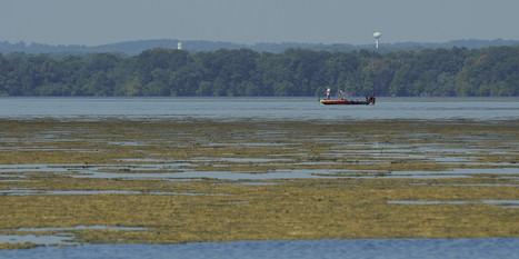 Susquehanna Flats show hope for Bay   Suburban Land Trusts   Scoop.it