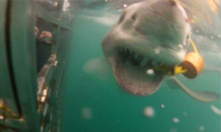 Extinction looms for great white sharks - Eyewitness News | Shark Week | Scoop.it