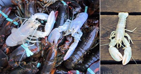 Two Very Rare White Lobster Found Off The Coast of Maine | FirstWeFeast.com | Travel Bites &... News | Scoop.it
