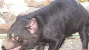 Greens claim funding decision will condemn Tasmanian Devils to extinction - ABC Online | political involvement | Scoop.it