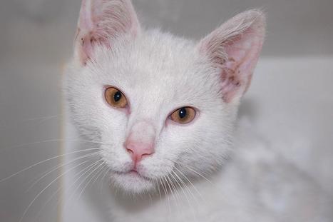 Teach your kitten to like the veterinarian | Pet News | Scoop.it