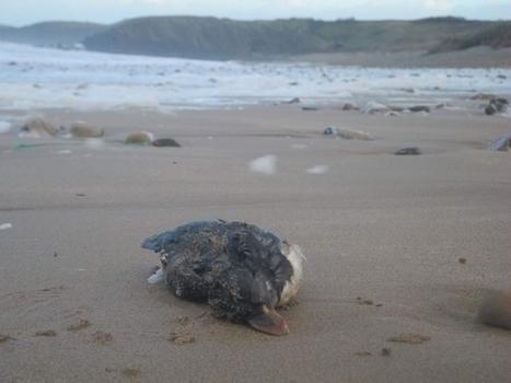 Tempête et pollution.  Des milliers d'oiseaux tués par le même pétrole ? | Toxique, soyons vigilant ! | Scoop.it