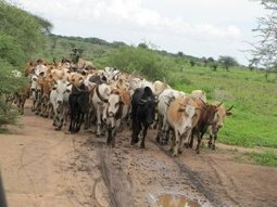 Africans' ability to digest milk linked to spread of cattle raising   World Neolithic   Scoop.it