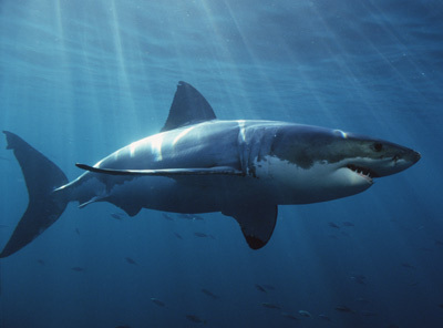 Shark Transcriptome Less Fishy, More Human Than...