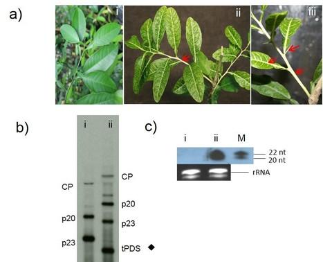 Citrus tristeza virus-based RNAi in citrus plants induces gene silencing in Diaphorina citri, a phloem-sap sucking insect vector of citrus greening disease (Huanglongbing) | Phytopath | Scoop.it