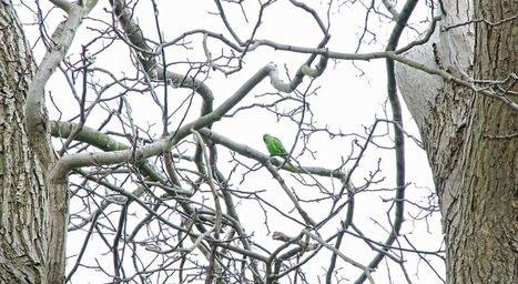 Green parrots in Istanbul | All Things Zygodactyl | Scoop.it