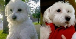 """HAPPY ENDING: Home, Safe n' Sound: Lost Dog: West End Halifax, Halifax Co., NS — Maltese, Male, 8 — """"Snowball"""" 