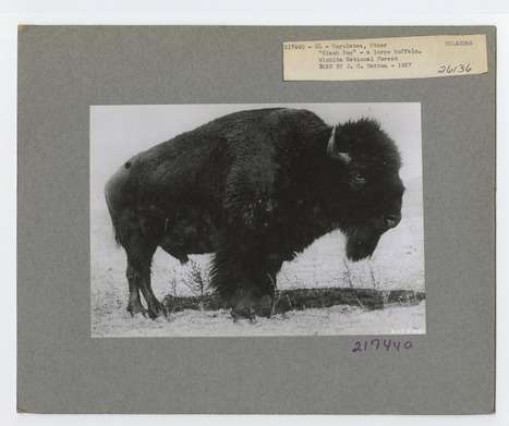 Celebrate National Bison Day becoming a citizen archivist | Crowd-data & Content | Scoop.it