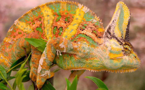 Chameleons Use Color to Communicate, Biologists Say - Sci-News.com | Conservation Biology, Genetics and Ecology | Scoop.it