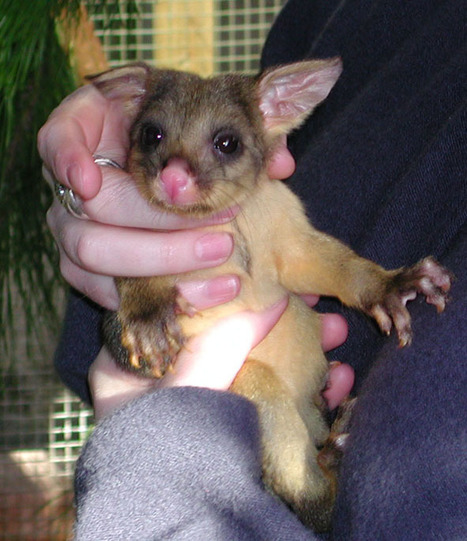 Release and bioactivity of PACA nanoparticles containing D-Lys6-GnRH for brushtail possum fertility control   Arlene McDowell's publications   Scoop.it