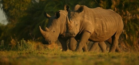 What I Wish Everyone Knew About Rhinos | What's Happening to Africa's Rhino? | Scoop.it