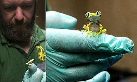 Zoo breeds rare lemur leaf frogs by creating artificial storms | Student Travel | Scoop.it