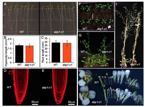 Auxin binding protein 1 (ABP1) is not required for either auxin signaling or Arabidopsis development   Awesome Science That  I Like   Scoop.it