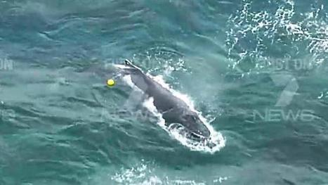 Rescuers rejoice as trapped baby whale freed - dailytelegraph.com.au | Whale and dolphin management | Scoop.it