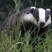 En Grande-Bretagne, la victoire des blaireaux   Ecologie & Environnement   Scoop.it