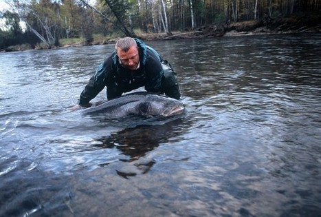 Protecting Asia's giant salmon, one river at a time | FOOD TECHNOLOGY  NEWS | Scoop.it