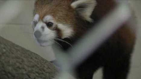 Red Panda goes on display today at Greensboro Science Center - myfox8.com | Endangered Species | Scoop.it