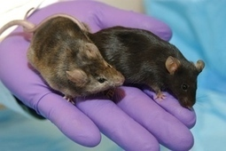 Scientists Inject Human Brain Cells Into Mice, Make Them Smarter | Chasing the Future | Scoop.it