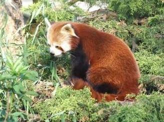 LYon-Actualités.fr: Le Parc de la tête d'Or fête l'arrivée d'un panda roux et de nombreuses naissances | LYFtv - Lyon | Scoop.it