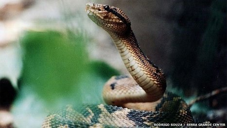 The heat-seeking snake that locks on to headlamps | Amazing things - sometimes science related | Scoop.it