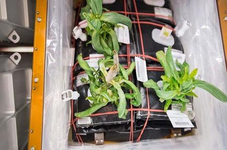 How mold on space station flowers is helping get us to Mars | Erba Volant - Applied Plant Science | Scoop.it