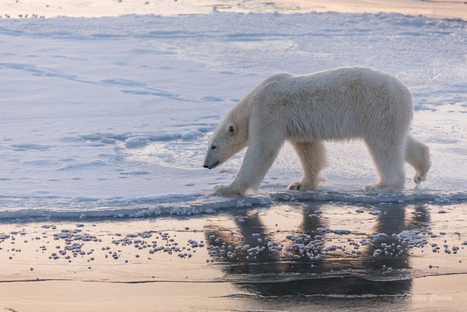 Photo Bear #2... nouvelle tentative #ours #banquise #Spitzberg #Svalbard | Hurtigruten Arctique Antarctique | Scoop.it