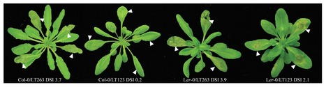 Plant Signaling and Behavior (2013): Induced expression of defense-related genes in Arabidopsis upon infection with Phytophthora capsici | Spoelder | Scoop.it