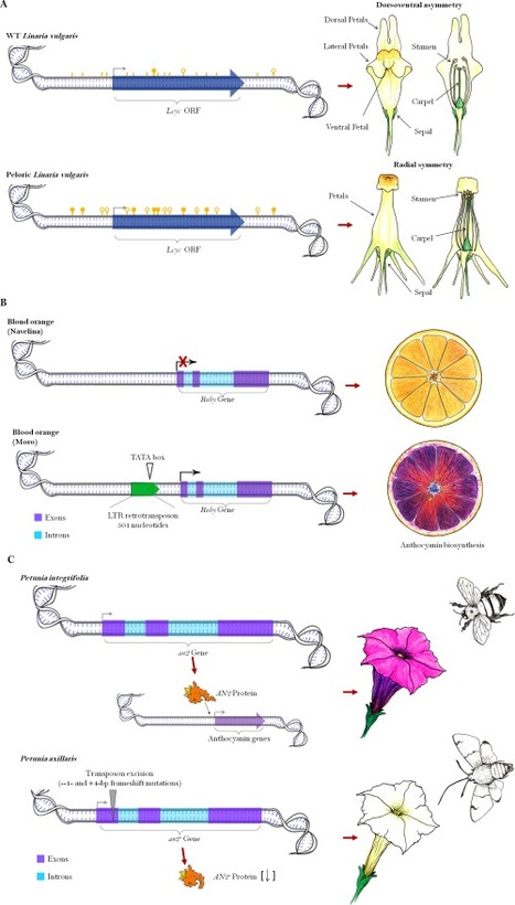Role of transcriptional regulation in the evolution of plant phenotype: A dynamic systems approach (Great review for teaching) | Plant Biology Teaching Resources (Higher Education) | Scoop.it