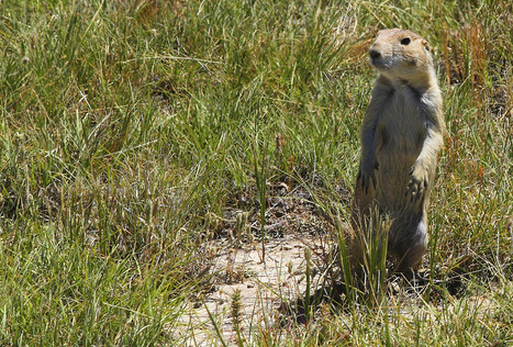 Relocating Prairie Dogs a Hard, Successful Sell in Wyoming - New West | Prairie and Grassland Ecosystems | Scoop.it