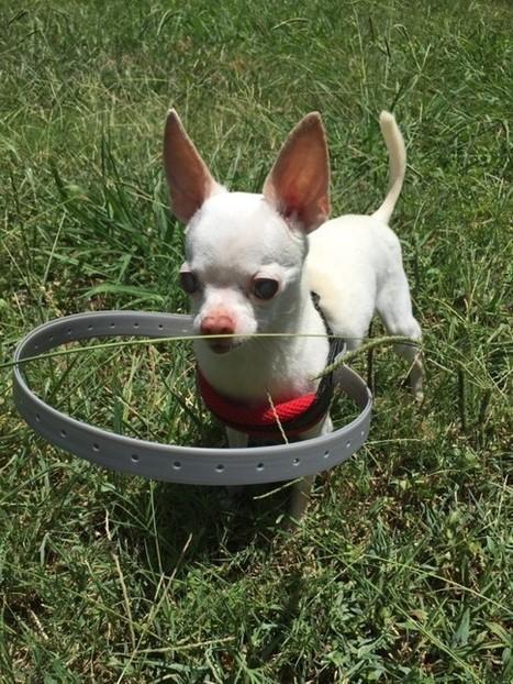 Grace à ça, ce petit chien aveugle n'a plus peur de se promener   CaniCatNews-actualité   Scoop.it