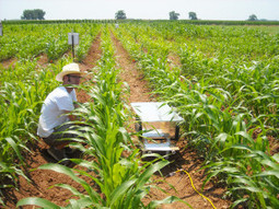 Texas A&M study: Bioenergy sorghum could help with greenhouse ... | forests as a substitute to fossil fuel | Scoop.it