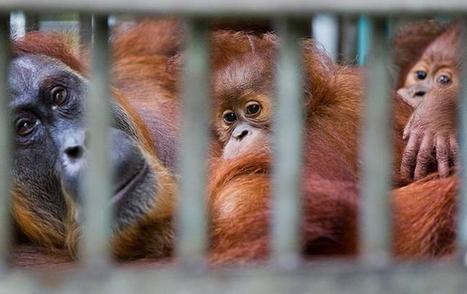 Leuser, the Sumatran orangutan shot 62 times – in pictures | Nature Animals humankind | Scoop.it
