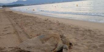 [08/08] Une tortue vient pondre sur la plage de St-Aygulf... | Puget sur Argens | Scoop.it