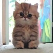 Playful Persian Kitten: Cute Attack! - Love Meow | Cuddly fluffy awesomeness | Scoop.it