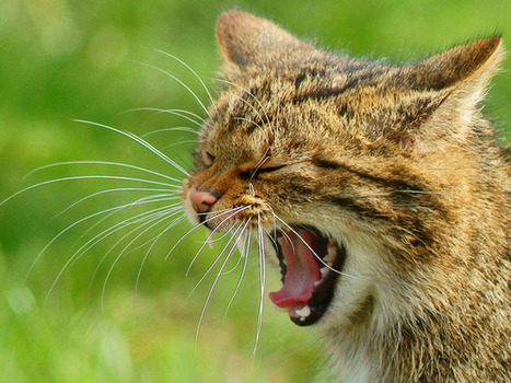 Scientists Discover Genes That Helped Turn Fearsome Wildcats Into House Cats | WIRED | Bioinformatics | Scoop.it