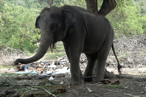Elephant fatally gores Scottish tourist in Thailand | enjoy yourself | Scoop.it
