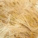 Le premier blé OGM, bientôt dans les champs | Bio alimentation | Scoop.it