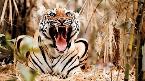 No tiger reserve status for 2 new wildlife sanctuaries in Maharashtra | Latest News & Updates at Daily News & Analysis | Endangered species | Scoop.it