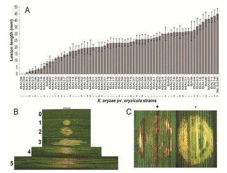 Phytopathology:  Analysis of Xanthomonas oryzae pv. oryzicola Population in Mali and Burkina Faso Reveals a High Level of Genetic and Pathogenic Diversity  (2014) | Plant-Microbe Interactions that Andy Cares About | Scoop.it